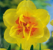 Daffodils_and_narcissus_narcissus_x_replete-1.full