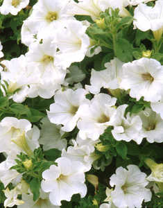 Petunia, Surfinia™ 'White'