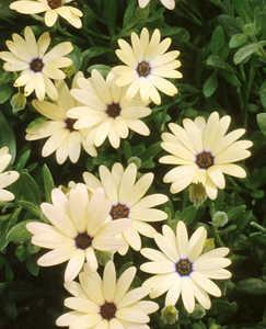 Osteospermum, 'Lemon Symphony'