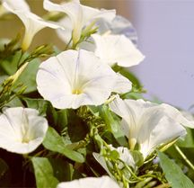 Morning Glory, 'Pearly Gates'