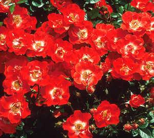 Rose, Miniature 'Gizmo'™