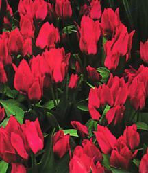 Tulips_tulipa_greigii_toronto-1.full