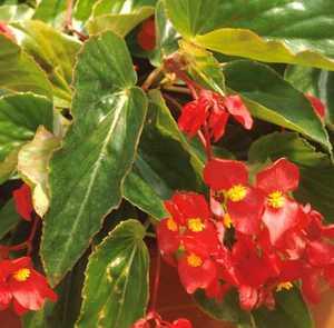 Begonia, Dragon Wing