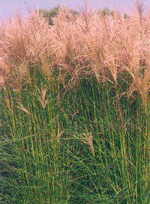 Grass, Maiden 'Grosse Fontaine'