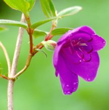 Princess Flower