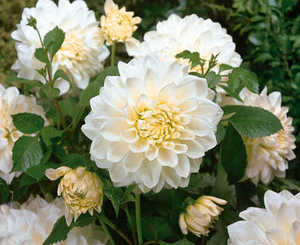 Dahlia, Dinnerplate 'White Perfection'