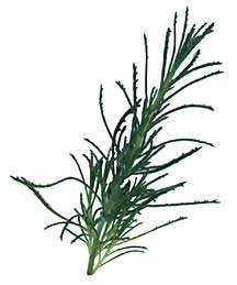 Santolina, Rosemary-leaved