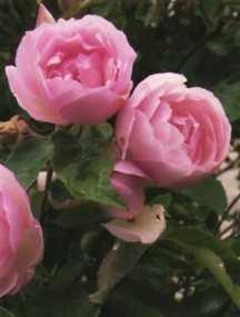 Rose, Antique Tea 'Duchesse de Brabant' (1857)