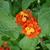 Orange_and_gold_lantana.small