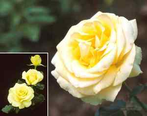 Rose, Hybrid Tea 'St. Patrick'™