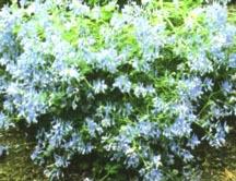 Corydalis, 'Blue Panda'