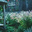 Tobacco, Flowering 'Cranberry Island'