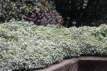 Soapwort, White Flowered