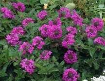 Verbena, 'Homestead Purple'