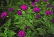 Herbs_monarda_blaustrumpf-1.full