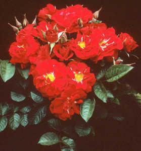 Rose, Heirloom 'Linda Campbell'
