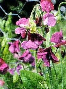 Sweet Pea, 'Captain of the Blues'