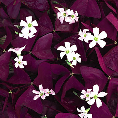 Annuals_oxalis_charmed_wine-1.full