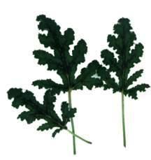 Scented Geranium, Oakleaf