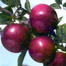 Apple Tree, Dwarf 'Starkspur® Arkansas Black'