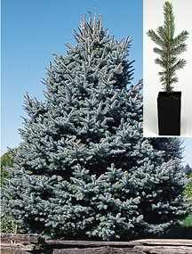 Spruce Tree, Colorado Blue