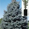 Spruce_picea_pungens_glauca-1.thumb