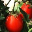 Tomato-roma.thumb