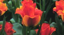 Tulips_tulipa_greigii_united_states-1.full