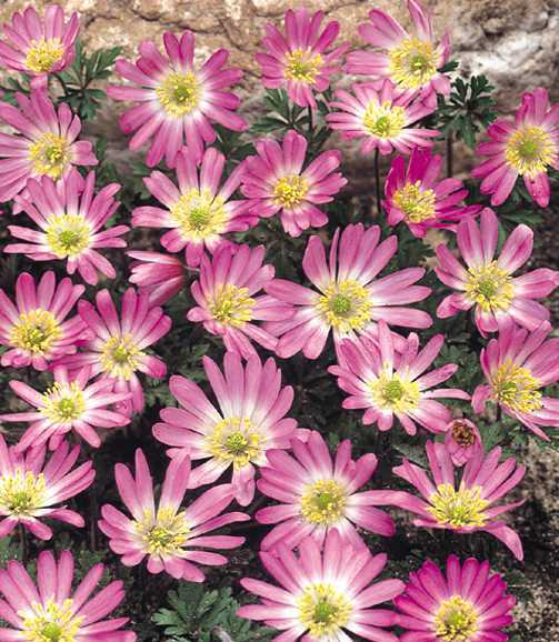 Bulbs_anemone_blanda_pink_star-1.full