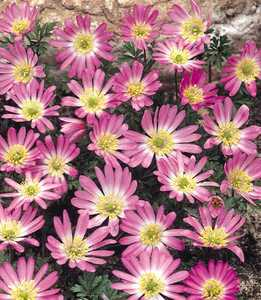 Anemone, 'Pink Star'