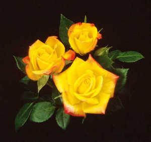 Rose, Miniature 'Rainbow's End'™