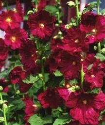 Perennials_alcea_rosea_indian_spring-1.full