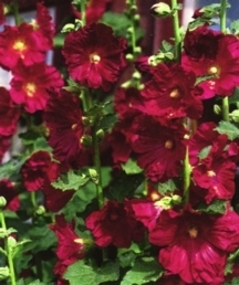 Hollyhock, 'Indian Spring'