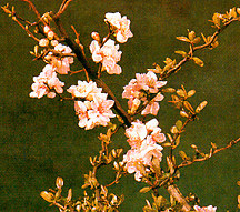 Quince, Flowering, Contorted