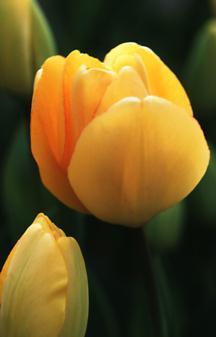 Tulips_tulipa_daydream-1.full