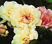 Rose, Antique Floribunda 'Gruss an Aachen' (1909)