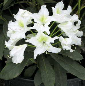 Rhododendron, Chapman's 'Cunningham White'