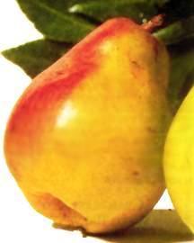 Pear Tree, Comice standard