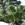 Tropicals: Nolina Recurvata