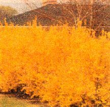 Forsythia, 'Lynwood Gold'