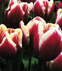 Tulip, Triumph 'Leen van der Mark'