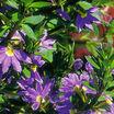 common fanflower
