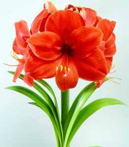 Amaryllis, Large Flowering 'Amigo'