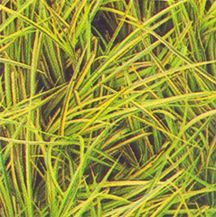 Grass, Sweet Flag 'Oborozuki'