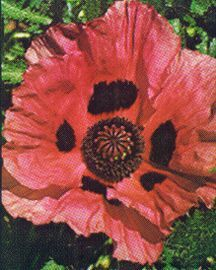 Poppy, Oriental 'Glowing Rose'