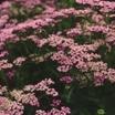 Yarrow, 'Lavender Beauty'