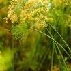 Tropical_bog_plants_cyperus_haspan-1.thumb