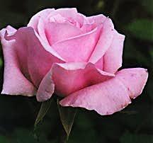 Rose, Shrub 'Belinda's Dream' (1992)