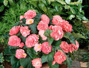 Begonia, New Star Pink