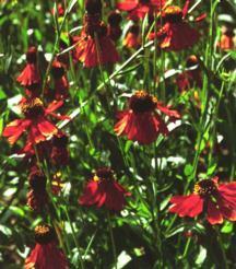 Helen's Flower, 'Moorheim Beauty'
